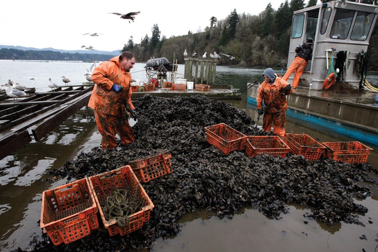 Jeremy Coleman, left, and James Roberts, right, harvest mussels for Taylor Shellfish Farms near Shelton, Washington, in 2011.