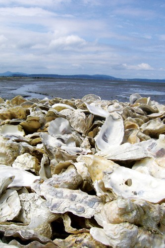 Discarded oyster shells at Taylor Shellfish Inc. The hatchery now treats its water to raise pH levels when needed, with mixed results.
