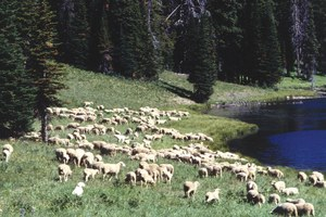 Growing grizzly population conflicts with USDA sheep research station