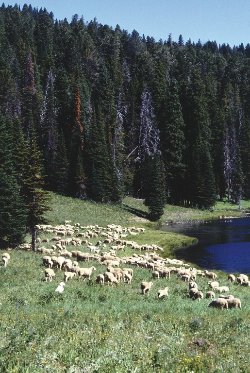 Sheep graze near a mountain lake at the U.S. Sheep Experiment Station in southwestern Montana.