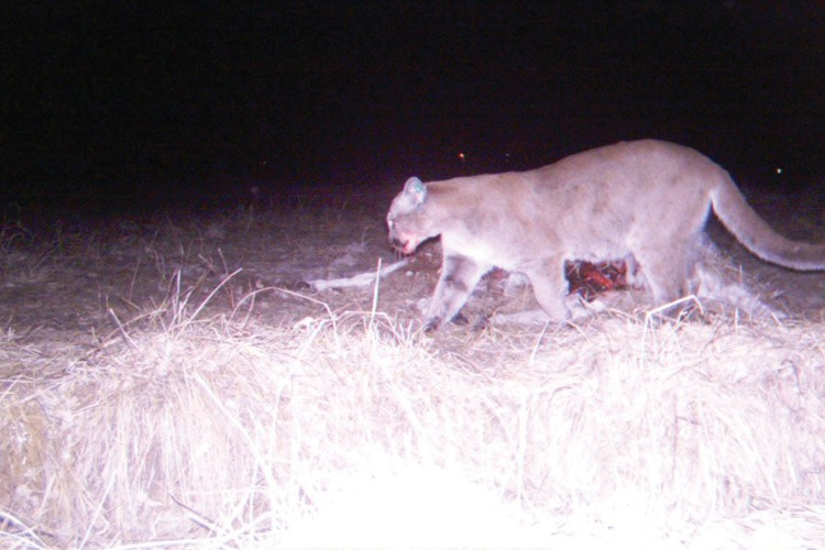 Mountain lion at a kill.