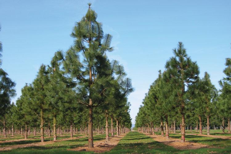 Loggers give unique Oregon ponderosa pine a lifeline ...