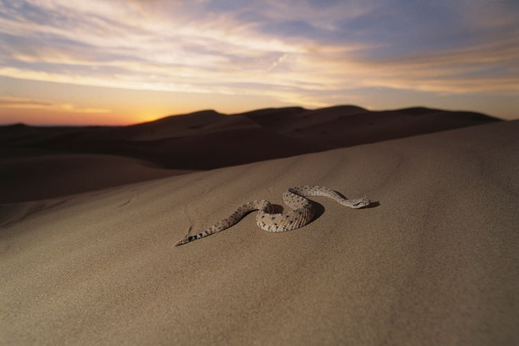 A sidewinder rattler traverses the dunes of El Pinacate.