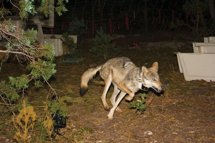 A Mexican gray wolf, one of five released last October in Mexico's Sierra San Luis. Within a few weeks, all but one had been killed with poison.