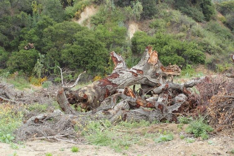 Giant stumps from the Arcadia Woodlands that were knocked down to make room for sediment from the Santa Anita Dam