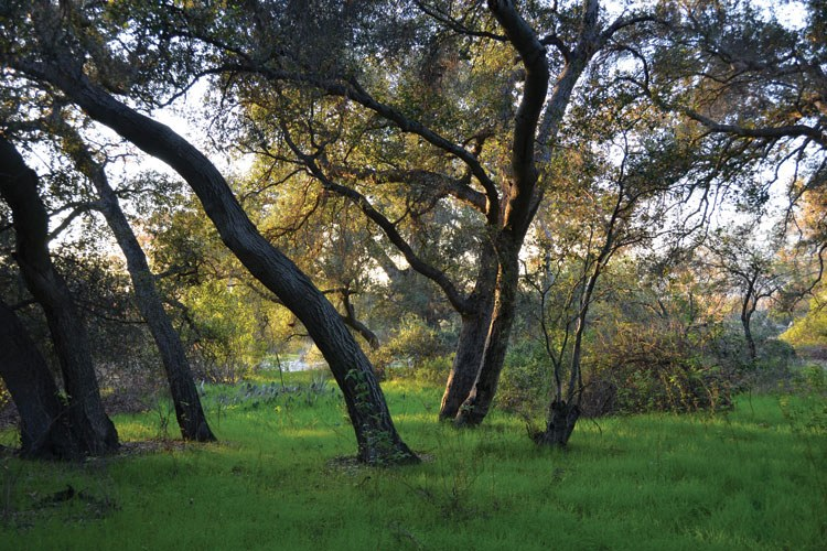 Oak woodland in Arcadia, California.