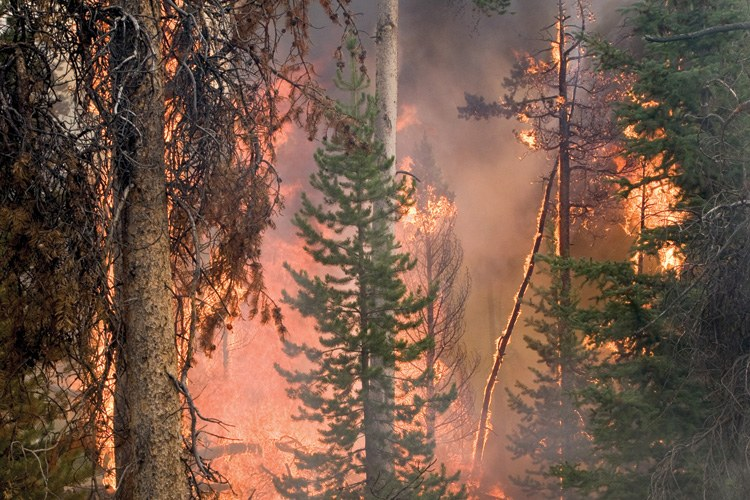 The 2011 Norton Point Fire in Shoshone National Forest, Wyoming, burned both beetle-damaged and healthy trees.