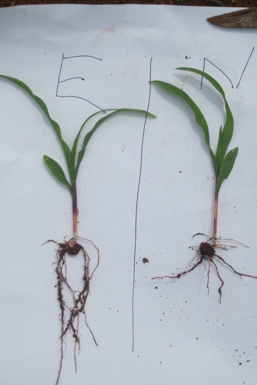 Corn seedlings grown with (left) and without (right) emissions.
