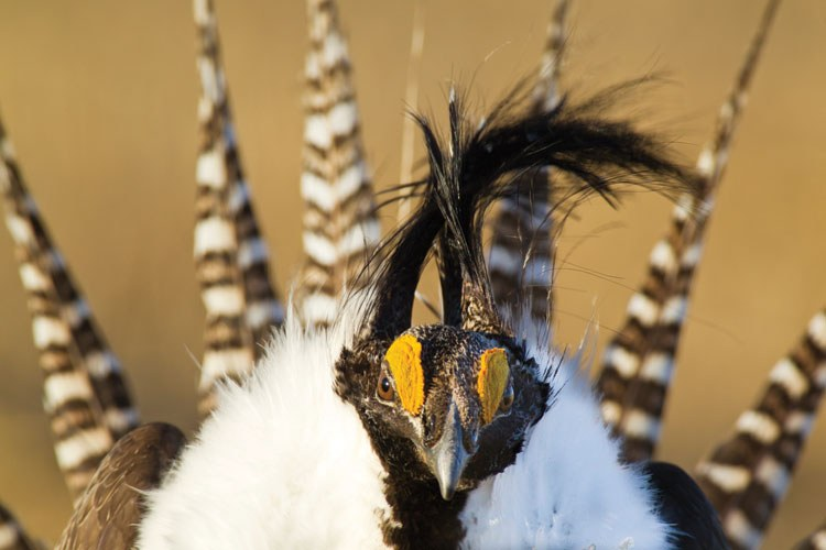 Face-to-face with the Gunnison sage grouse.
