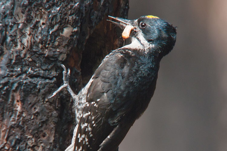 A black-backed woodpecker brings beetle larvae to its young, concealed in a cavity in a burnt tree near Camp Sherman, Oregon.