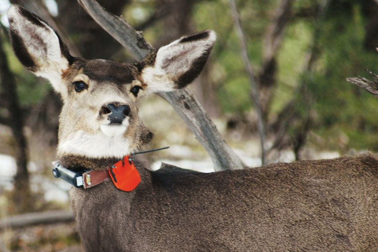 A deer collared as part of a Colorado State University study funded by the company to figure out how wildlife behaves amid the area's vast network of roads and well pads.