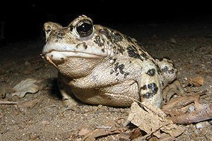 The latest: A worrying amphibian decline