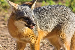 The latest: Channel Island foxes rebound