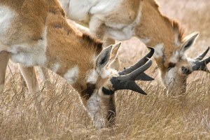Becoming pronghorn: an essay