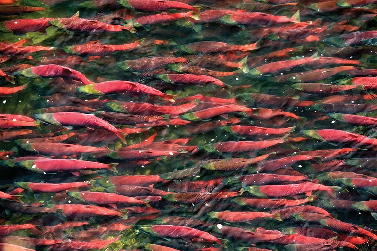 Sockeye salmon returning to the Bristol Bay region to spawn.