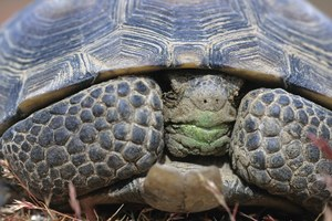 Can we save Mojave desert tortoises by moving them out of harm's way?