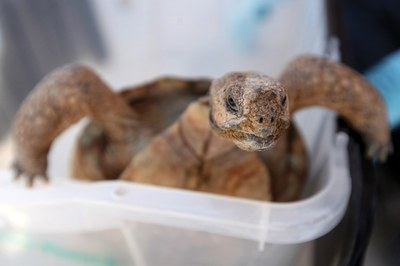 A timeline of the desert tortoise's slow and steady decline