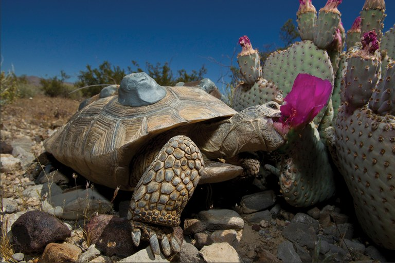 Fish and Wildlife and the San Diego Zoo experimentally translocated juvenile tortoises from the Desert Tortoise Conservation Center to the former Nevada Test Site in 2011.