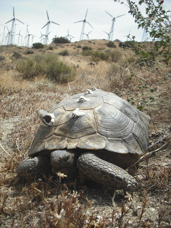 A male desert tortoise (Gopherus agassizii), covered with transmitters, near Palm Springs, California, where wind energy facilities are just one of the threats the species faces.