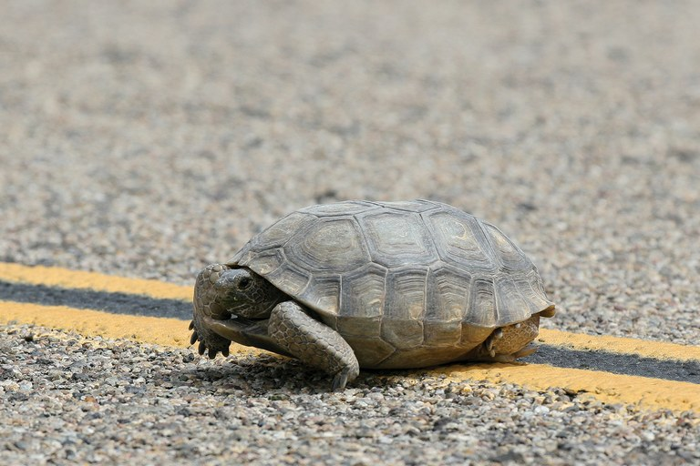 An adult desert tortoise crosses the center line of a road in the Mojave Desert.