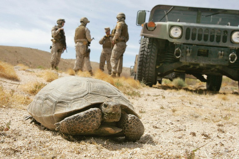 Marines wait for a desert tortoise to move off the road on the grounds of the U.S. Marine Corps' Air Ground Combat Center at Twentynine Palms, California.
