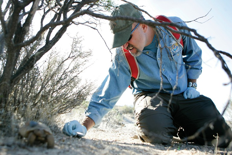 Roy Averill-Murray, who oversees desert tortoise recovery for the U.S. Fish and Wildlife Service, releases a desert tortoise at the Nevada National Security Site (the former Nevada Test Site) last September.