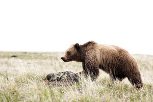 New study questions how Greater Yellowstone bears are counted
