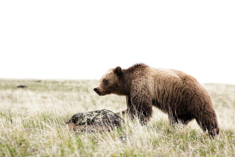 The health of the Greater Yellowstone grizzly population is up for debate, with some calling for the bears to be taken off the endangered species list, while a few scientists claim their numbers may actually be declining.