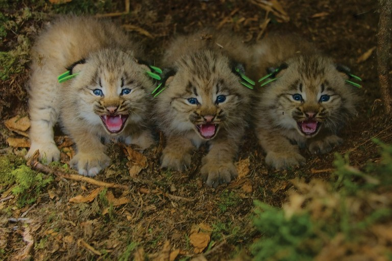 A WildEarth Guardians settlement with the USFWS aimed to get species like these Canada lynx on the endangered list quicker.