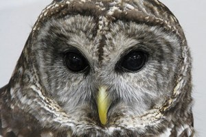 The Latest: Fish & Wildlife to shoot thousands of barred owls