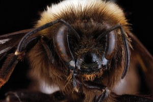 The mysterious reappearance of the white-bottomed bee