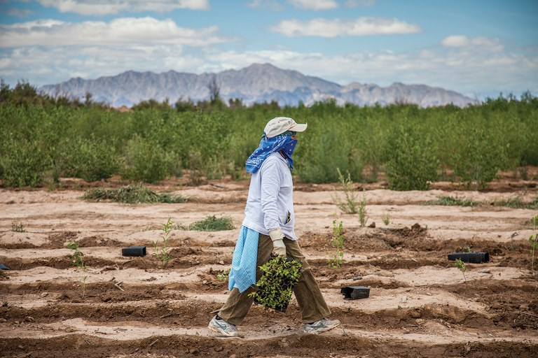 At a restoration site near Mexicali, local workers plant native trees and set up irrigation systems to
