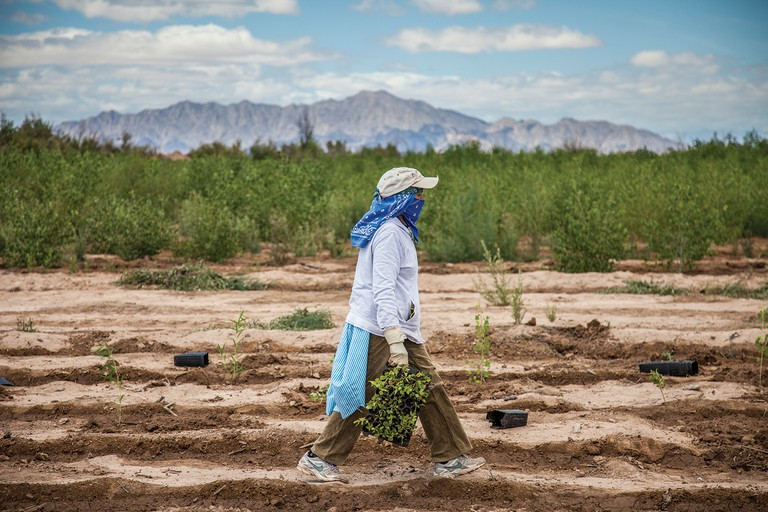 At a restoration site near Mexicali, local workers plant native trees and set up irrigation systems to help restore the Delta.