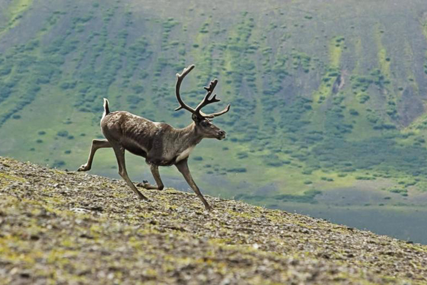 Reindeer of the arctic facts and adaptations rangifer tarandus reindeer caribou migration in arctic canada natural world safaris Every spring caribou migrate toward the places where they were