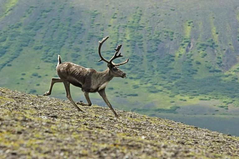 Caribou like this one still roam in Alaska's Aniakchak National Monument & Preserve, but Washington's Selkirk herd has yet to regain its numbers despite three decades on the Endangered Species List.