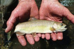 The long journey of the Gila trout