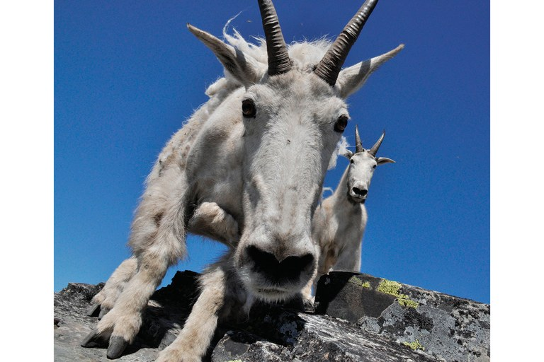 Mountain goats across the West, like these on Scotchman Peak in Idaho, left, often harass hikers in search of salt.