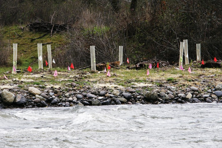 Native trees and shrubs planted along a tributary of the Rogue River in an effort to reduce water temperatures, part of Medford, Oregon's water quality program.