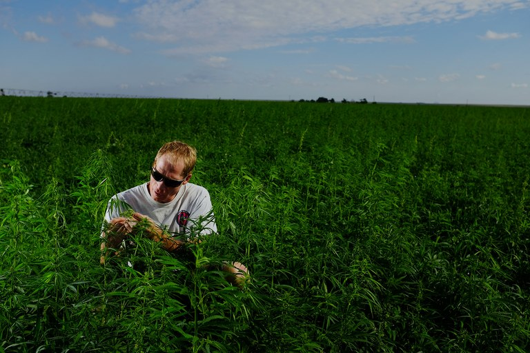Ryan Loflin works in his hemp field near Springfield, Colorado, where this fall, he and a group of volunteers from around the country harvested the nation's first major yield of the marijuana-like crop in 55 years.