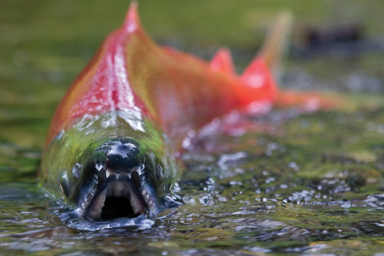 "At their spawning sites, female sockeye salmon arrange gravel nests called ""redds"" and males battle to decide who gets to mate."