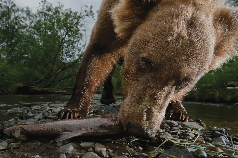 A homemade wildlife cam captures a grizzly bear scavenging a salmon on Yako Creek at Lake Aleknagik. This salmon had been injured by a commercial fishing net deployed at the river's mouth but kept swimming until it died and washed up on the mid-creek gravel bar. The migrating salmon are tough – some suffer bear bites and wriggle free to live long enough to spawn.