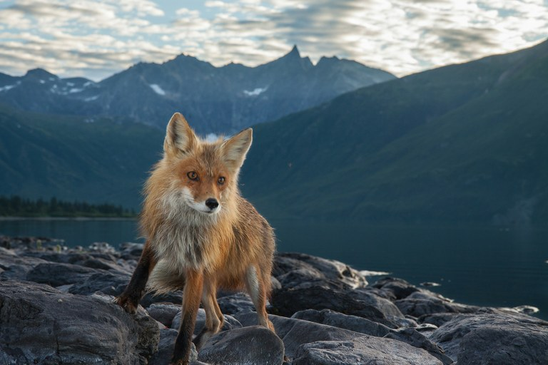 A fox captured on a wildlife cam in the Bristol Bay ecosystem..