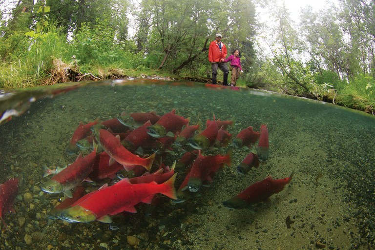 "Scientist Daniel Schindler and his daughter, Luna, watch the ""red wave"" of sockeye salmon navigate up Sam Creek, home to one of the earliest-spawning populations in Alaska's Bristol Bay ecosystem."