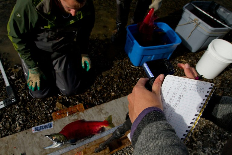 Researchers measure salmon specimens captured in the Bristol Bay ecosystem.