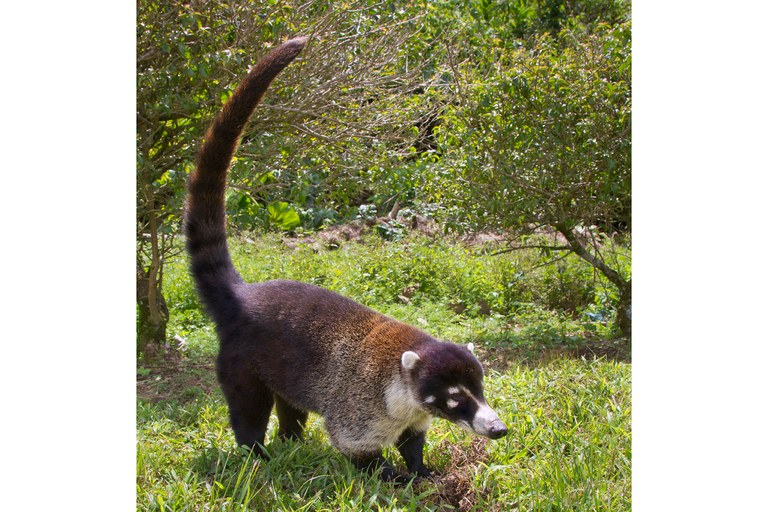 A white-nosed coati.