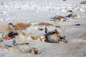 The Latest: Teton pronghorn migration helped by overpasses