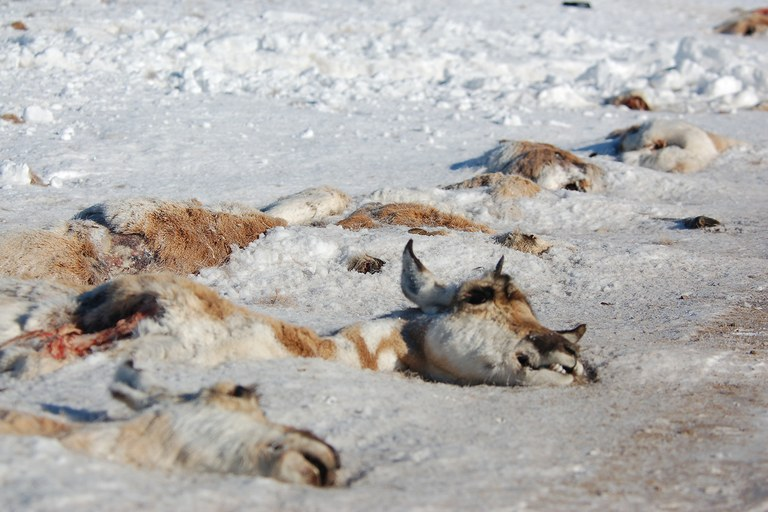 Roadkill pronghorn antelope in Wyoming.