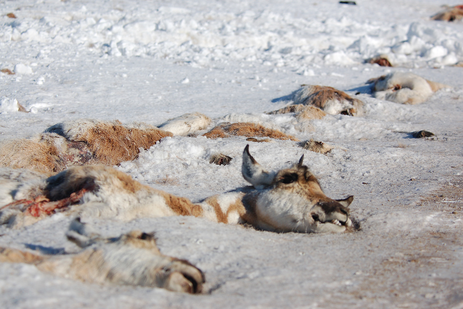 The Latest Teton Pronghorn Migration Helped By Overpasses
