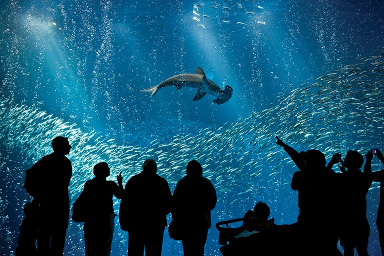 Visitors to the Monterey Bay Aquarium view a hammerhead shark in a million-gallon tank.