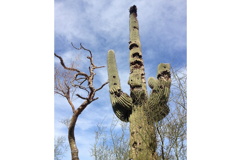 A protected saguaro cactus bears scars from gunfire in Sonoran Desert National Monument. Despite recommendations by local BLM staff that shooting be prohibited throughout the monument, officials decided not to enact a ban there after a one-day visit by the Wildlife and Hunting Heritage Conservation Council, a federal committee that advises the departments of Interior